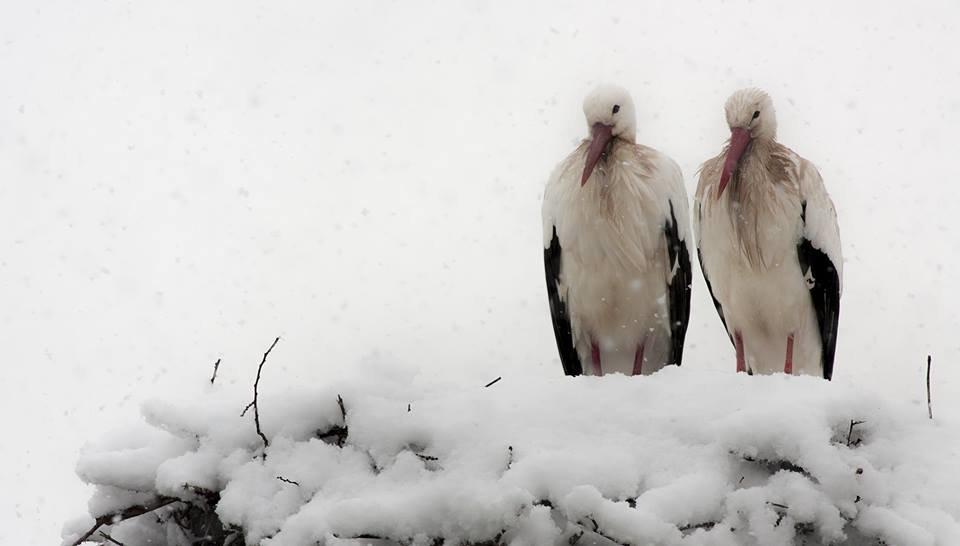 В Украине замерзают аисты , фото-2