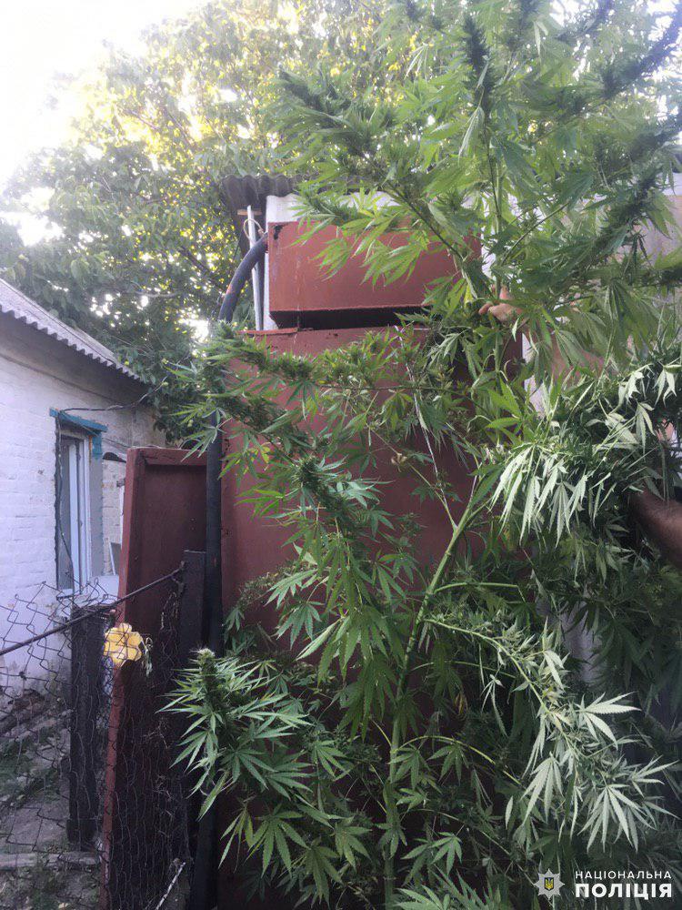 В Дружковке обнаружили еще одну плантацию конопли на огороде (ФОТО), фото-2