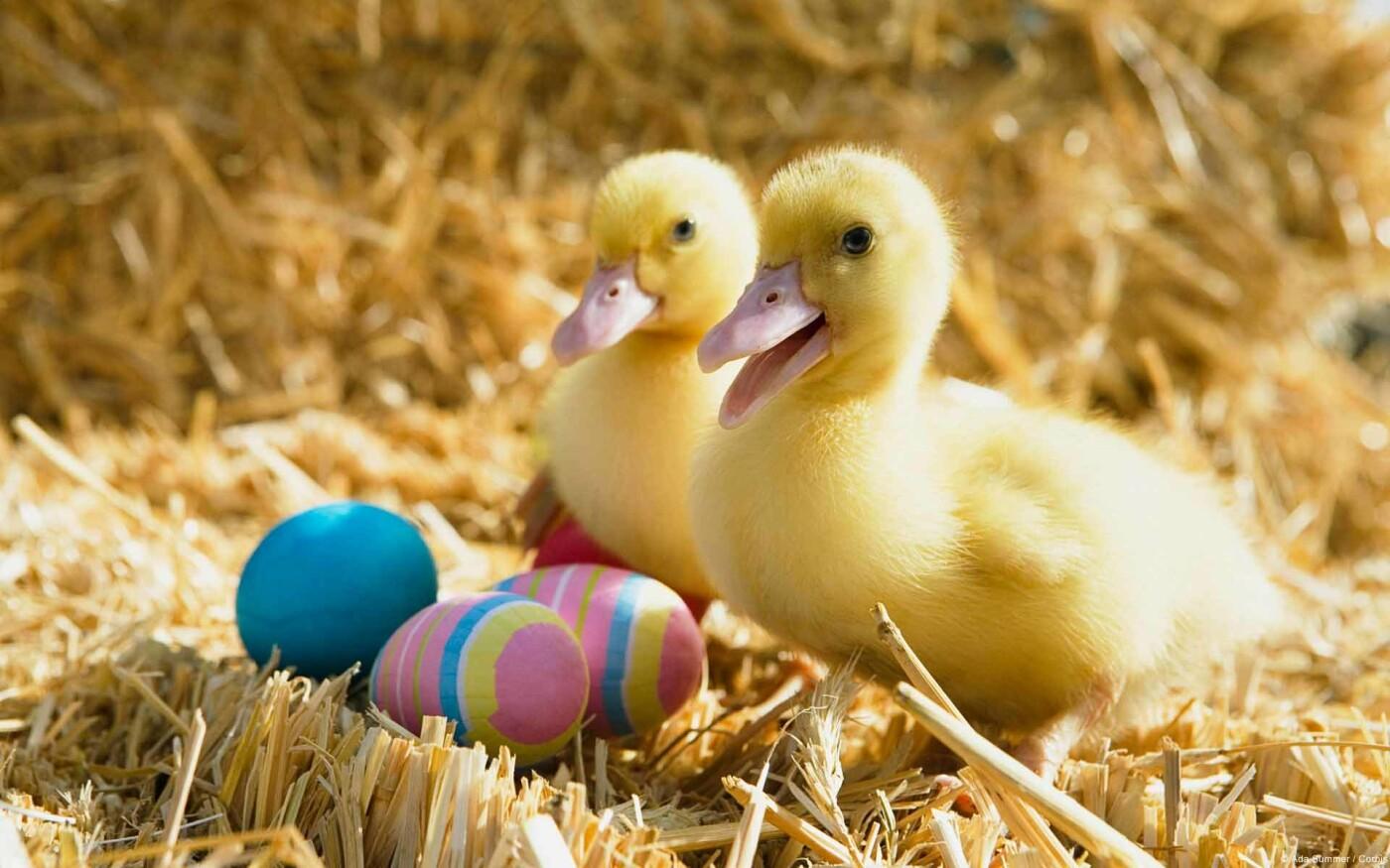 Як тваринки Великдень зустрічають. Підборка милих фото, фото-12